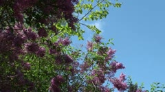 Lilac in the spring Stock Footage