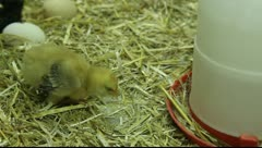 Young chicken chicks in hatchery Stock Footage