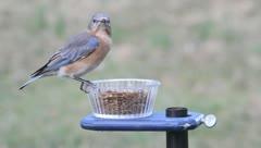 Eastern Bluebird (Sialia sialis) on a feeder Stock Footage
