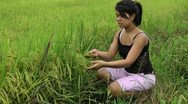 Stock Video Footage of Asian woman inspecting the ripening rice in Philippines
