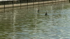 Couple of black swans in a lake Stock Footage
