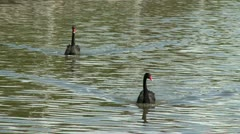 Couple of black swan in a lake, zoom out Stock Footage