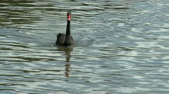 One black swan in a lake Stock Footage