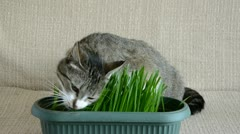 Cat in the room eating cats grass Stock Footage