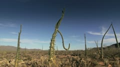 Cactus in desert 3 Stock Footage