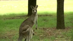 Kangaroo with baby kangaroo in the park - stock footage