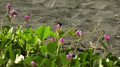 Wasp eating nectar on pink flowers on a sand beach in Philippines Stock Footage