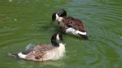 Canada geese in the pond Stock Footage