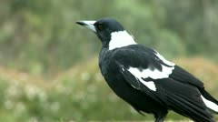 Magpie on a grass 1 Stock Footage