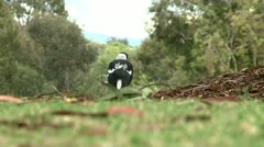 Magpie on a grass 3 Stock Footage