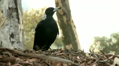 Magpie on a grass 4 Stock Footage