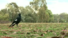 Magpie on a grass 6 Stock Footage