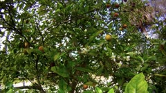 Orange Blossoms and Oranges in an Orange tree - stock footage