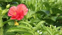 Red Hibiscus Stock Footage
