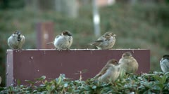 Sparrows heating during the winter Stock Footage