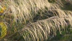 Ornamental Grass Stock Footage