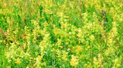 Vibrant yellow flowers Rhinanthus major on the meadow - stock footage