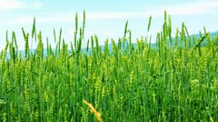Spikes of wheat rustling in the wind. Stock Footage