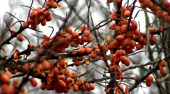 Sea buckthorn Stock Footage