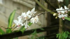 White Orchid in front of a house Stock Footage