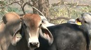 Stock Video Footage of Brahman Cattle