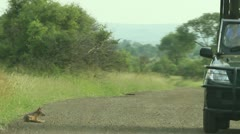 Jackal Lying in Road with Vehicle Passing GFHD Stock Footage