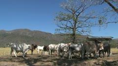 Brahman Cattle - stock footage