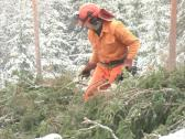 Woodchopper cut tree saw Stock Footage