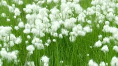 Cotton grass (Eriophorum angustifolium) in Siberia Stock Footage