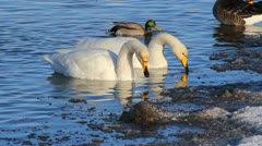 Wild swans and geese close up Stock Footage