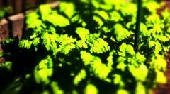 Golden feverfew plant Stock Footage