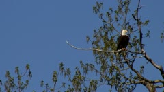 stockvideo9mar12 Eagle in cottonwood ruffling tail - stock footage