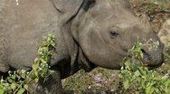 Asian rhino Stock Footage