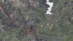 Stockviceo11mar12 Dall sheep high on mountain Stock Footage