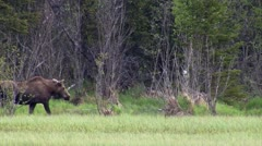 stockvideo11mar12 Moose walking across marsh - stock footage