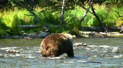stockvideo11mar12 Close-up Brown bear fishing for sockeye salmon - stock footage
