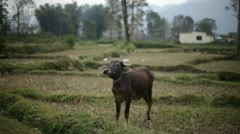 Cow. Asia. Stock Footage