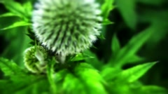 Echinops Stock Footage