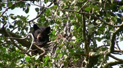 stockvideo11mar12 Black bear peering from cottonwood tree - stock footage