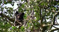 Stock Video Footage of stockvideo11mar12 Black bear peering from cottonwood tree