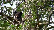 Stockvideo11mar12 Black bear peering from cottonwood tree Stock Footage