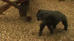 Gorilla walks on scrapings Stock Footage
