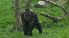 Gorilla walks on grass - stock footage