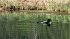 stockvideo11mar12 Loon swimming in marsh - stock footage