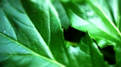 Acanthus leaf Stock Footage