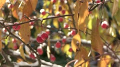 Crab Apples and Snow 01 Stock Footage