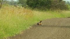 Jackal Lying in Road on Safari GFHD Stock Footage