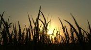 Sunset in wheat field Stock Footage