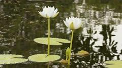 White lotus Stock Footage