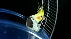 Cockatiel getting out of the cage Stock Footage